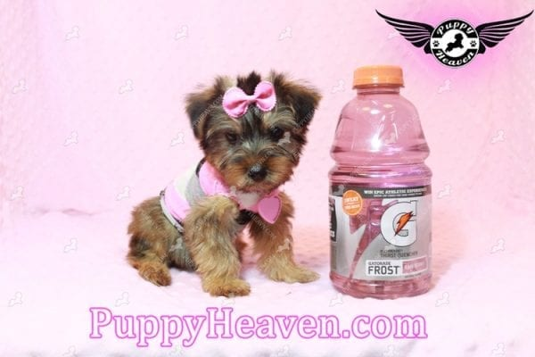 Miley Cyrus - Teacup Morkie Puppy has found a good loving home with Michael from Las Vegas, NV 89135-0