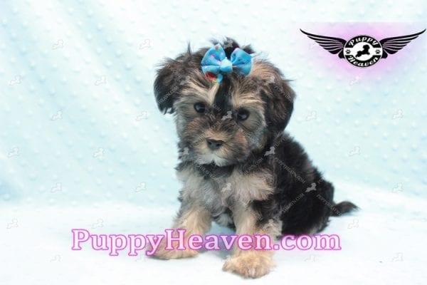 Mowgli - Toy Morkie Puppy In L.A-9847