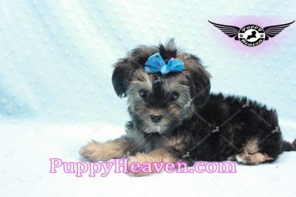 Mowgli - Toy Morkie Puppy In L.A-9850