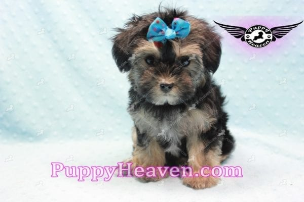 Mowgli - Toy Morkie Puppy In L.A-0