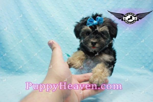 Mowgli - Toy Morkie Puppy In L.A-9849