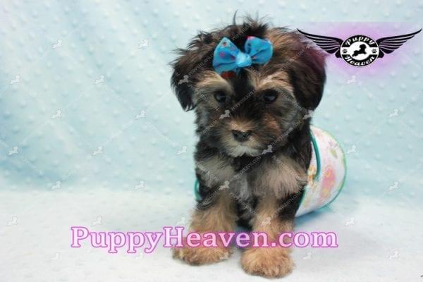 Mowgli - Toy Morkie Puppy In L.A-9848