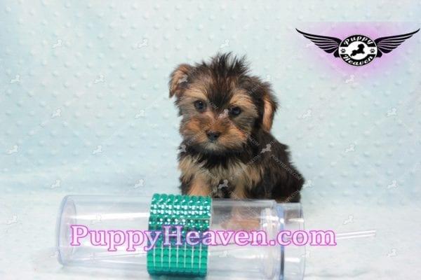 I-Dog 6S - Teacup Yorkie puppy -9729