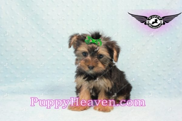 I-Dog 6S - Teacup Yorkie puppy -9728