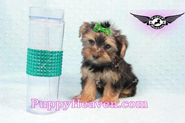 I-Dog 6S - Teacup Yorkie puppy -0