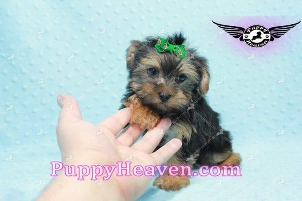 I-Dog 6S - Teacup Yorkie puppy -9731
