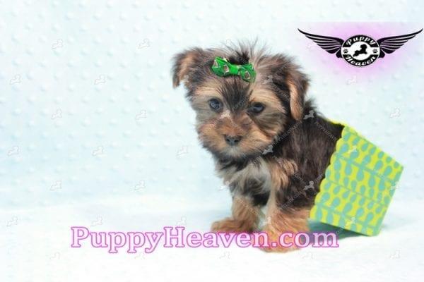 I-Dog 6S - Teacup Yorkie puppy -9727