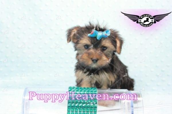 I-Dog 6S - Teacup Yorkie puppy -9726