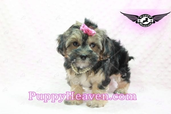 Pocahontas - Morkie Puppy In L.A Found A Loving Home with Layla From Santa Barbra Ca 93102-9854