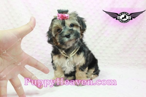 Pocahontas - Morkie Puppy In L.A Found A Loving Home with Layla From Santa Barbra Ca 93102-9855