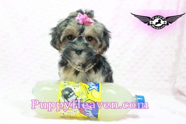 Pocahontas - Morkie Puppy In L.A Found A Loving Home with Layla From Santa Barbra Ca 93102-9853