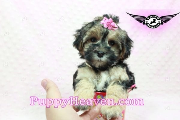 Pocahontas - Morkie Puppy In L.A Found A Loving Home with Layla From Santa Barbra Ca 93102-9852
