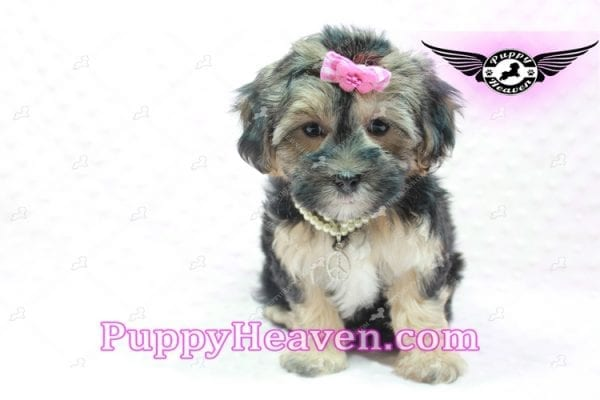 Pocahontas - Morkie Puppy In L.A Found A Loving Home with Layla From Santa Barbra Ca 93102-0