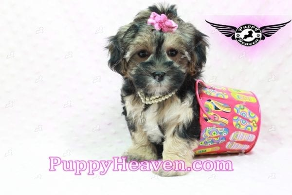 Pocahontas - Morkie Puppy In L.A Found A Loving Home with Layla From Santa Barbra Ca 93102-9856