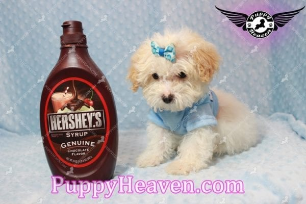 Prince - Teacup Poodle Puppy has found a good loving home with Donald from Henderson, NV 89074-9930