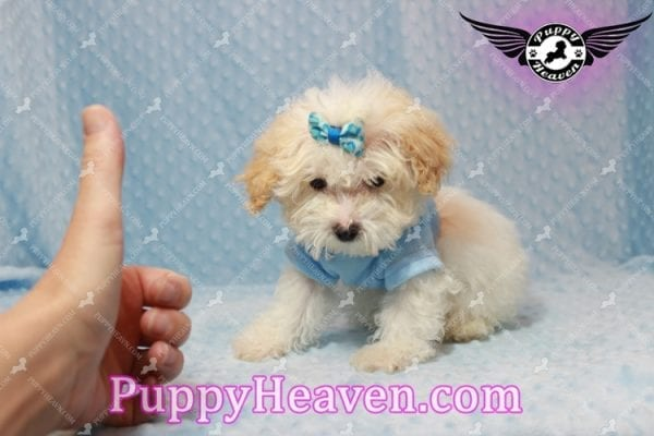 Prince - Teacup Poodle Puppy has found a good loving home with Donald from Henderson, NV 89074-9932