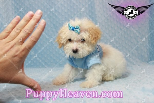 Prince - Teacup Poodle Puppy has found a good loving home with Donald from Henderson, NV 89074-9926