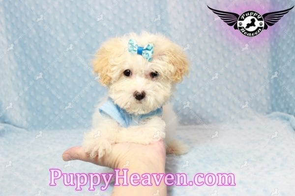 Prince - Teacup Poodle Puppy has found a good loving home with Donald from Henderson, NV 89074-9927