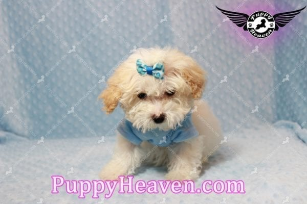 Prince - Teacup Poodle Puppy has found a good loving home with Donald from Henderson, NV 89074-9931