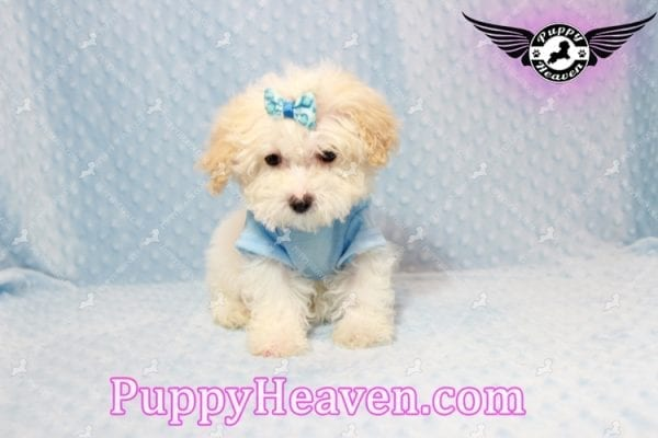 Prince - Teacup Poodle Puppy has found a good loving home with Donald from Henderson, NV 89074-9928