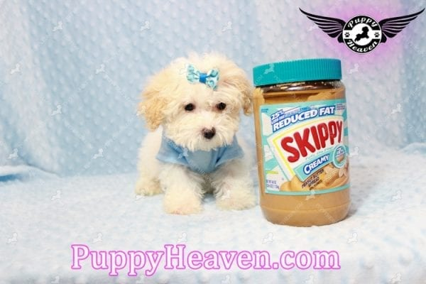 Prince - Teacup Poodle Puppy has found a good loving home with Donald from Henderson, NV 89074-9925
