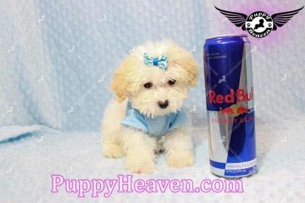 Prince - Teacup Poodle Puppy has found a good loving home with Donald from Henderson, NV 89074-0