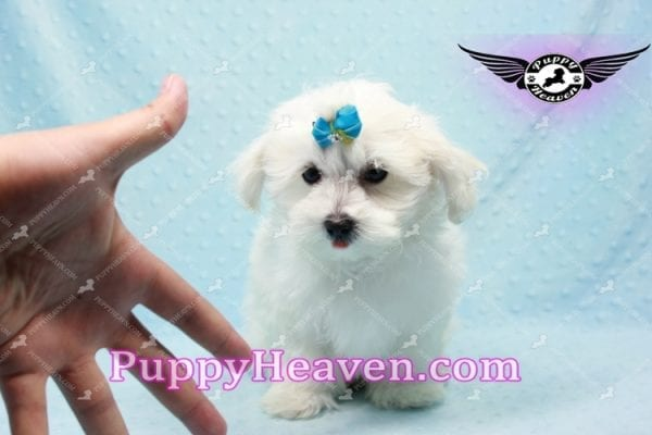 Prince Charming - Teacup Maltese Puppy in Los Angeles Found A New Loving Home -9705