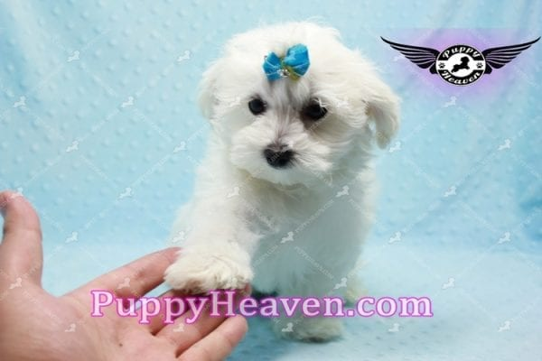 Prince Charming - Teacup Maltese Puppy in Los Angeles Found A New Loving Home -9706
