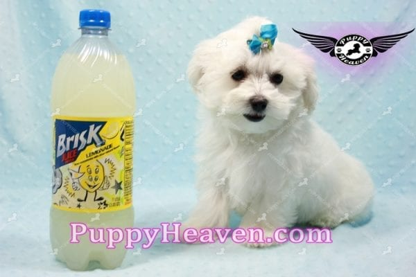 Prince Charming - Teacup Maltese Puppy in Los Angeles Found A New Loving Home -9709