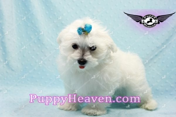 Prince Charming - Teacup Maltese Puppy in Los Angeles Found A New Loving Home -9703