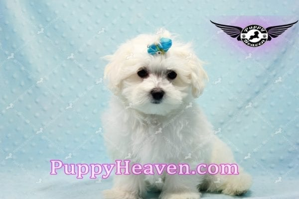 Prince Charming - Teacup Maltese Puppy in Los Angeles Found A New Loving Home -9702