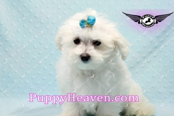 Prince Charming - Teacup Maltese Puppy in Los Angeles Found A New Loving Home -0