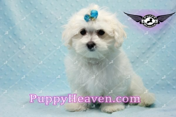 Prince Charming - Teacup Maltese Puppy in Los Angeles Found A New Loving Home -9710