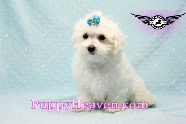 Prince Charming - Teacup Maltese Puppy in Los Angeles Found A New Loving Home -9704