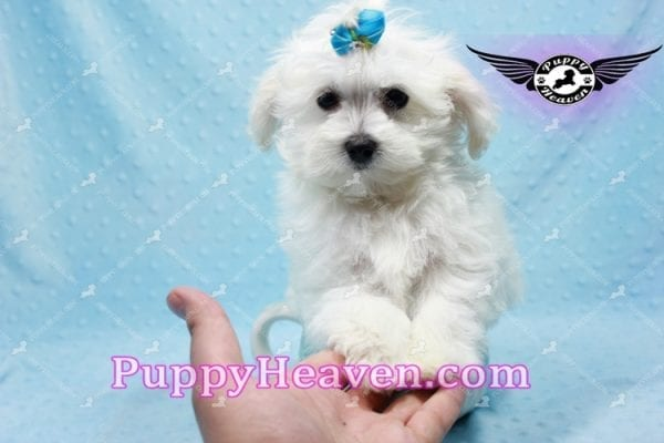 Prince Charming - Teacup Maltese Puppy in Los Angeles Found A New Loving Home -9701