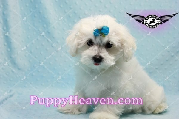 Prince Charming - Teacup Maltese Puppy in Los Angeles Found A New Loving Home -9708