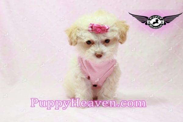 Rihanna - Teacup Poodle Puppy -9837