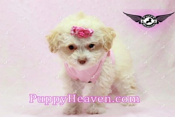 Rihanna - Teacup Poodle Puppy -9834
