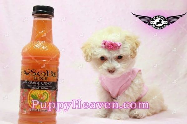 Rihanna - Teacup Poodle Puppy -9839