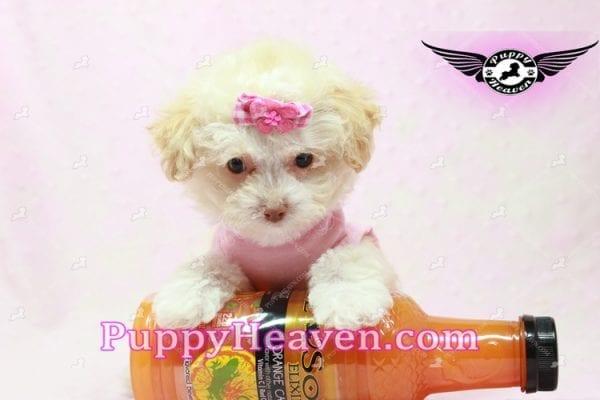 Rihanna - Teacup Poodle Puppy -9835