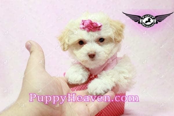 Rihanna - Teacup Poodle Puppy -9838