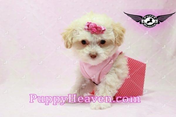 Rihanna - Teacup Poodle Puppy -9833