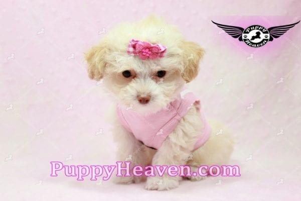 Rihanna - Teacup Poodle Puppy -0