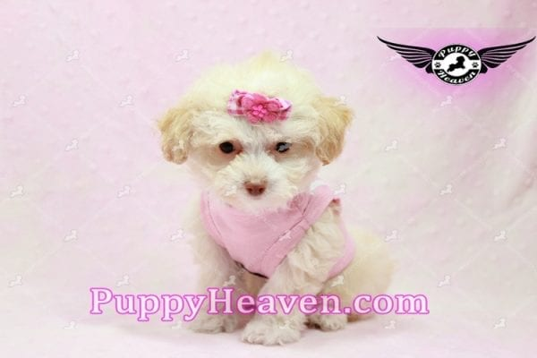 Rihanna - Teacup Poodle Puppy -9831
