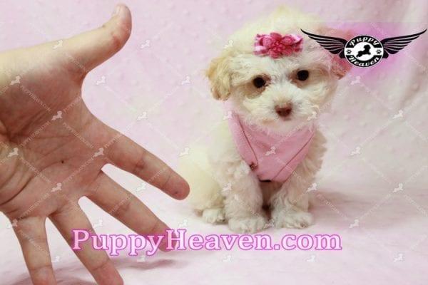 Rihanna - Teacup Poodle Puppy -9832