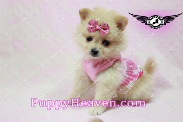 Sarabi - Teacup Pomeranian Puppy-10051