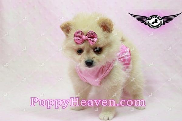 Sarabi - Teacup Pomeranian Puppy-0