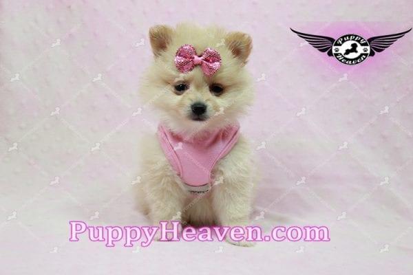 Sarabi - Teacup Pomeranian Puppy-10053