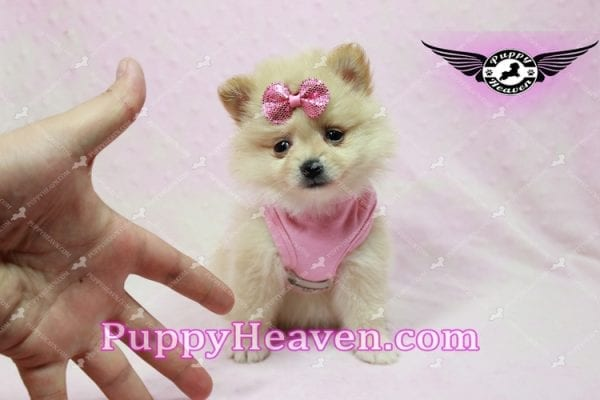 Sarabi - Teacup Pomeranian Puppy-10057