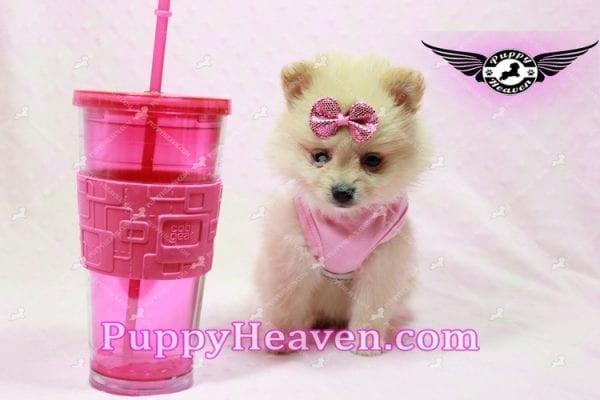 Sarabi - Teacup Pomeranian Puppy-10056